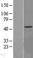 NBL1-11792 - HYAL1 Lysate