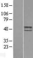 NBL1-11794 - HYAL2 Lysate