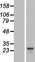 NBL1-11796 - HYI Lysate