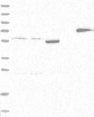 NBP1-89697 - HIP13 / FICD
