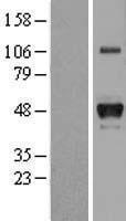 NBL1-11686 - Haptoglobin Lysate
