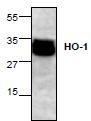 NBP1-45616 - Heme oxygenase 1 / HMOX1