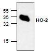 NBP1-45617 - Heme oxygenase 2 (HMOX2)