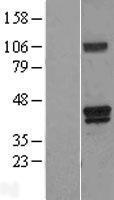 NBL1-11625 - Heme oxygenase 2 Lysate