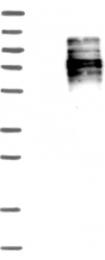 NBP1-84908 - Hemogen
