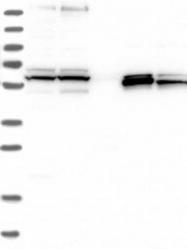 NBP1-84909 - Hemogen