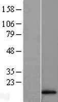 NBL1-11454 - Hemoglobin A1 Lysate