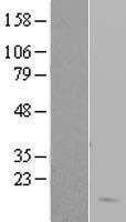 NBL1-11457 - Hemoglobin delta Lysate