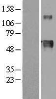 NBL1-11702 - Hemopexin Lysate