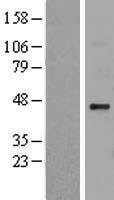 NBL1-11712 - Heparan sulfate 2-O-sulfotransferase 1 Lysate
