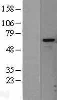 NBL1-11701 - Heparanase Lysate