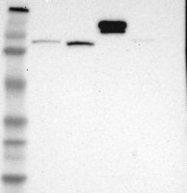 NBP1-85483 - Hephaestin