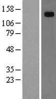 NBL1-11506 - Hephaestin Lysate