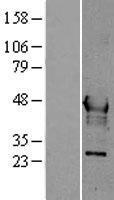 NBL1-11694 - Hepsin Lysate
