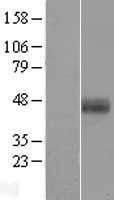 NBL1-11695 - Hepsin Lysate