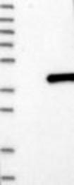 NBP1-89981 - HEYL / HRT3