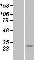 NBL1-11554 - Histone H1.3 Lysate