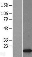 NBL1-11427 - Histone H2A.Z Lysate
