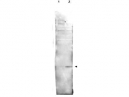 NBP1-78103 - HMGN1