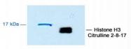 NB100-57135 - Histone H3
