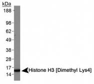 NB21-1022 - Histone H3.2