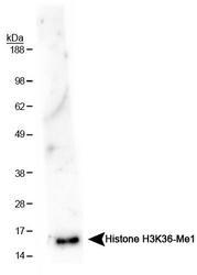 NB21-1251 - Histone H3.2