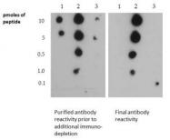 NB21-1202 - Histone H3.2