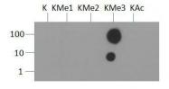 NB21-1253 - Histone H3.2