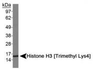 NB21-1023 - Histone H3.2