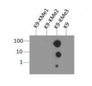 NB21-1073 - Histone H3.2