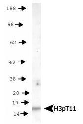 NB21-1101 - Histone H3.2