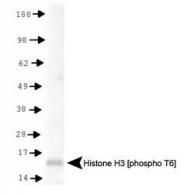 NB21-1051 - Histone H3.2