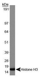 NBP1-30141 - Histone H3