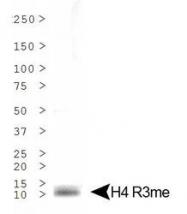 NB21-2011 - Histone H4