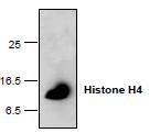 NBP1-45622 - Histone H4