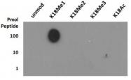 NB21-1141 - Histone H3.2