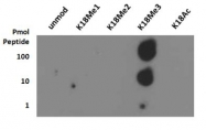 NB21-1143 - Histone H3.2
