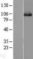 NBL1-11769 - Hsp105 Lysate
