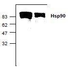 NBP1-45630 - HSP90AA1 / HSP90 alpha