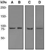NBP1-95287 - HSP90AA1 / HSP90 alpha