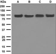 NBP1-95702 - HSP90AA1 / HSP90 alpha
