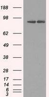 NBP1-47799 - HSP90AB1 / HSP90 beta