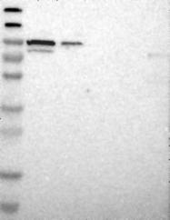 NBP1-88293 - HSPA12B