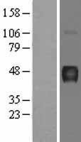 NBL1-07815 - Hydrogen Potassium ATPase Beta Lysate
