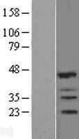NBL1-15428 - IBRDC2 Lysate