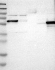 NBP1-83124 - Islet cell autoantigen 1 / ICA1