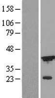 NBL1-09842 - ICAD Lysate