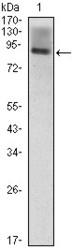 NBP1-47481 - CD54 / ICAM1