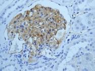NBP1-95583 - CD54 / ICAM1