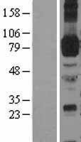 NBL1-11804 - ICAM1 Lysate
